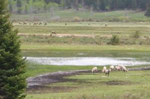 Sheep and elk at Sheep Lake