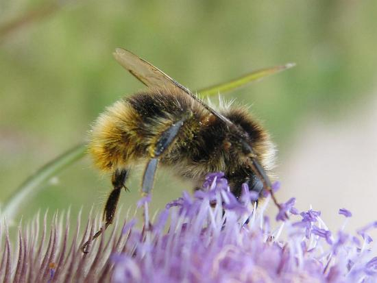 New Forest bee on thistle.
