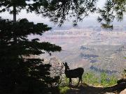 Mule Deer at North Rim, Grand Canyon - click for more pictures of Grand Canyon.