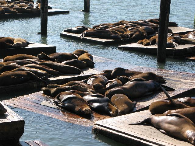 Sea lions on pontoons at Pier 39, San Francisco