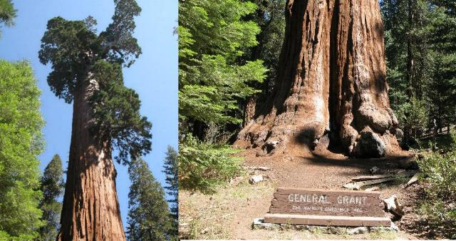 General Grant Tree, Kings Canyon