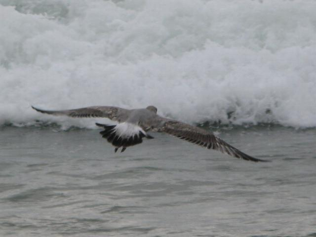 Seagull at Monterey