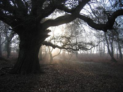 A winter's morning in the New Forest