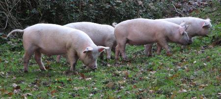 Pigs foraging for acorns