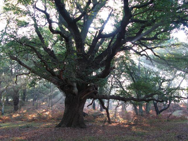 New Forest Oak