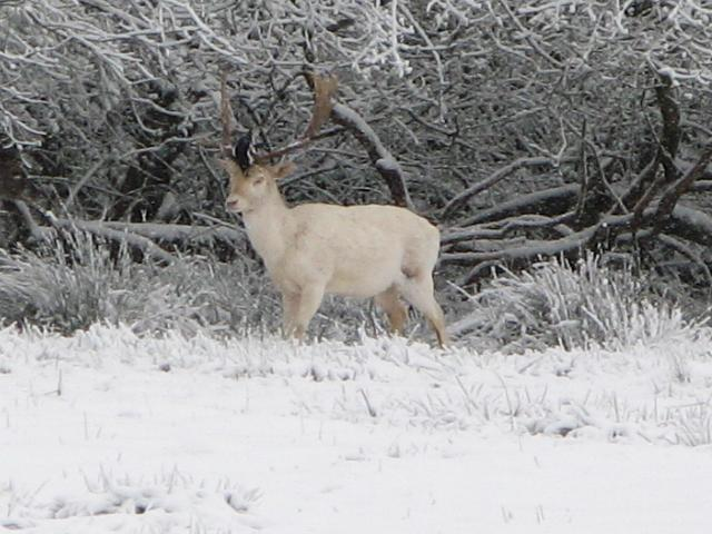White deer in snow at Boldrewood