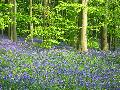 Bluebell Woods, England